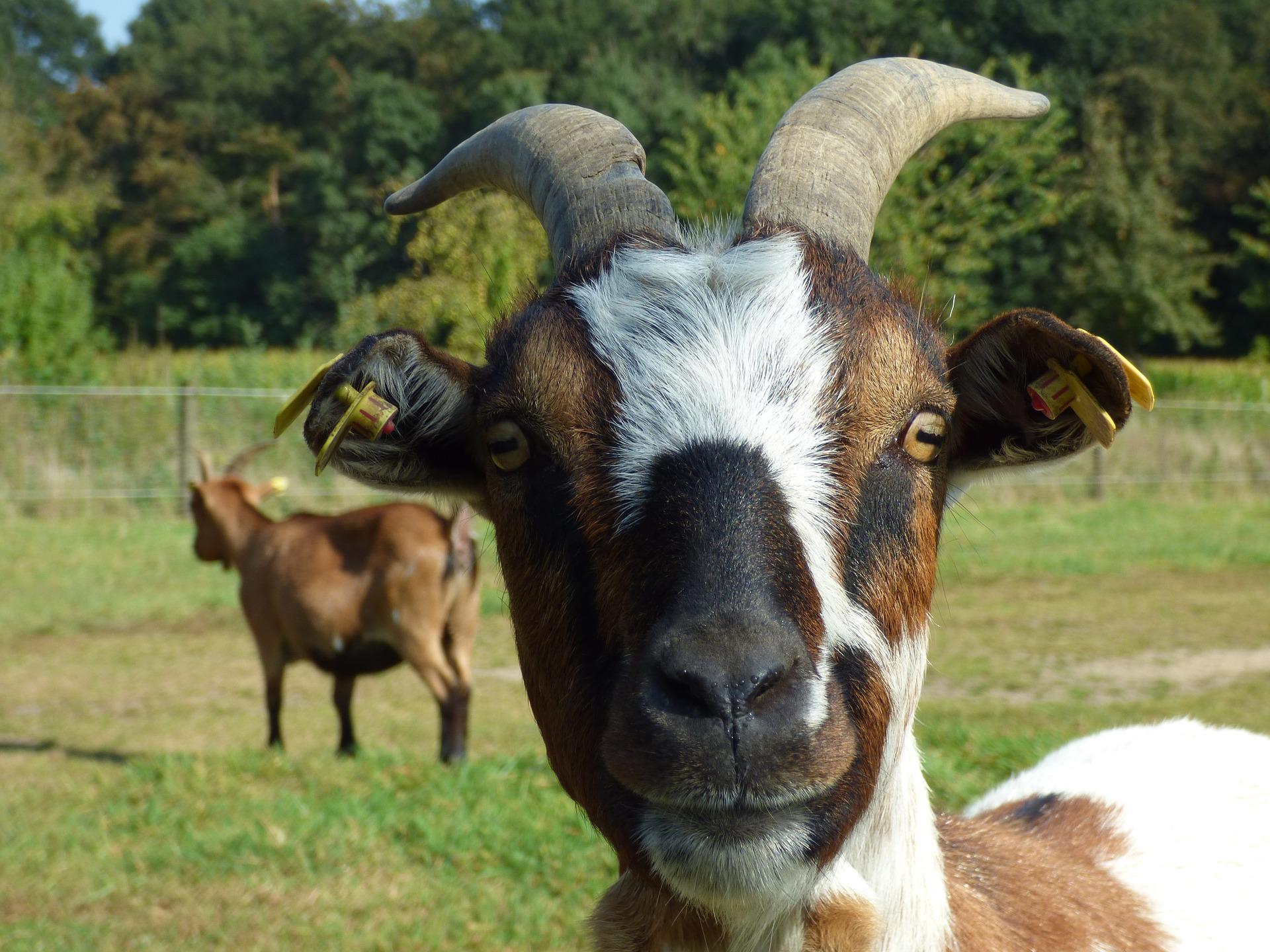 goats city of launceston