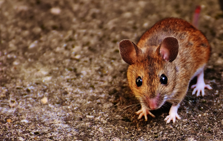 Baby Brown Mouse